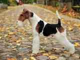 Собаки, щенки Жесткошерстный фокстерьер, цена 1500 Грн., Фото