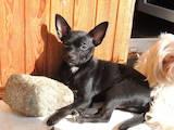 Собаки, щенки Чихуа-хуа, цена 1000 Грн., Фото