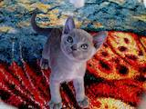 Кошки, котята Бурма, цена 15000 Грн., Фото