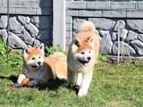 Собаки, щенки Акита-ину, цена 22000 Грн., Фото
