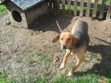Собаки, щенята Естонський гончак, ціна 1500 Грн., Фото