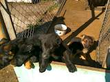 Собаки, щенята Німецька вівчарка, ціна 7000 Грн., Фото