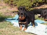 Собаки, щенки Ротвейлер, цена 10700 Грн., Фото