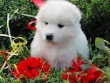 Собаки, щенята Самоїдом, ціна 9700 Грн., Фото