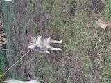 Собаки, щенки Западно-Сибирская лайка, цена 3200 Грн., Фото