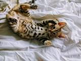 Кошки, котята Бенгальская, цена 4200 Грн., Фото