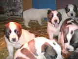 Собаки, щенята Середньоазіатська вівчарка, ціна 2000 Грн., Фото