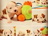 Собаки, щенята Американський стаффордширський тер'єр, ціна 7500 Грн., Фото