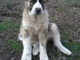 Собаки, щенки Среднеазиатская овчарка, цена 3700 Грн., Фото