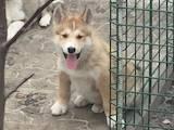 Собаки, щенки Западно-Сибирская лайка, цена 5000 Грн., Фото