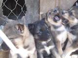 Собаки, щенки Западно-Сибирская лайка, цена 500 Грн., Фото