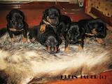 Собаки, щенки Ягдтерьер, цена 5000 Грн., Фото