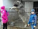 Собаки, щенки Кавказская овчарка, цена 7000 Грн., Фото