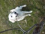 Собаки, щенята Золотистий ретрівер, ціна 4000 Грн., Фото