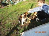 Собаки, щенки Эстонская гончая, цена 850 Грн., Фото