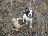 Собаки, щенята Російський спаніель, Фото