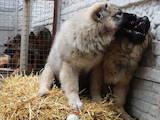 Собаки, щенки Кавказская овчарка, цена 6000 Грн., Фото