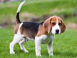 Собаки, щенята Бігль, ціна 1000 Грн., Фото