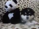 Собаки, щенята Аляска маламут, ціна 8500 Грн., Фото