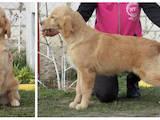 Собаки, щенята Золотистий ретрівер, ціна 350 Грн., Фото