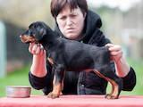 Собаки, щенята Доберман, ціна 20000 Грн., Фото