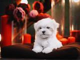 Собаки, щенки Мальтийская болонка, цена 40000 Грн., Фото
