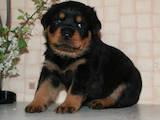 Собаки, щенки Ротвейлер, цена 100 Грн., Фото
