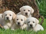 Собаки, щенята Лабрадор ретрівер, ціна 5800 Грн., Фото
