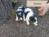 Собаки, щенки Жесткошерстный фокстерьер, цена 1450 Грн., Фото