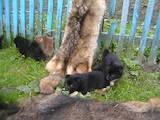 Собаки, щенки Западно-Сибирская лайка, цена 1400 Грн., Фото