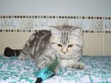 Кошки, котята Шотландская короткошерстная, цена 3500 Грн., Фото