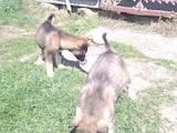 Собаки, щенки Западно-Сибирская лайка, цена 200 Грн., Фото