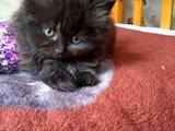 Кошки, котята Шотландская короткошерстная, цена 450 Грн., Фото