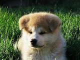Собаки, щенки Акита-ину, цена 19000 Грн., Фото