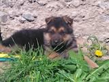 Собаки, щенки Немецкая овчарка, цена 2100 Грн., Фото