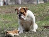 Собаки, щенки Английский бульдог, цена 28000 Грн., Фото