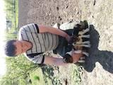 Собаки, щенки Эстонская гончая, цена 1800 Грн., Фото