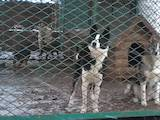Собаки, щенки Русско-Европейская лайка, цена 6000 Грн., Фото