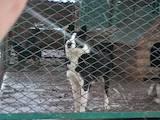 Собаки, щенята Російсько-Європейська лайка, ціна 6000 Грн., Фото