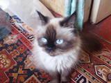 Кішки, кошенята Балінез, ціна 700 Грн., Фото