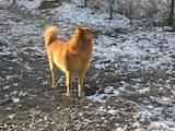 Собаки, щенки Западно-Сибирская лайка, цена 8000 Грн., Фото