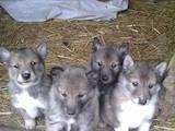 Собаки, щенки Западно-Сибирская лайка, цена 1000 Грн., Фото