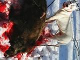 Собаки, щенята Аргентинський дог, ціна 500 Грн., Фото