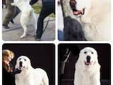 Собаки, щенки Среднеазиатская овчарка, цена 9000 Грн., Фото