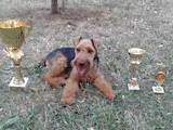 Собаки, щенки Вельштерьер, цена 8500 Грн., Фото