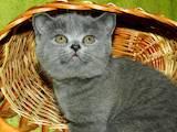 Кошки, котята Британская короткошерстная, цена 700 Грн., Фото