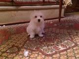 Собаки, щенки Мальтийская болонка, цена 5500 Грн., Фото