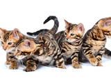 Кішки, кошенята Бенгальськая, ціна 50000 Грн., Фото