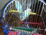 Попугаи и птицы Попугаи, цена 450 Грн., Фото