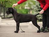 Собаки, щенята Кане Корсо, ціна 13599 Грн., Фото